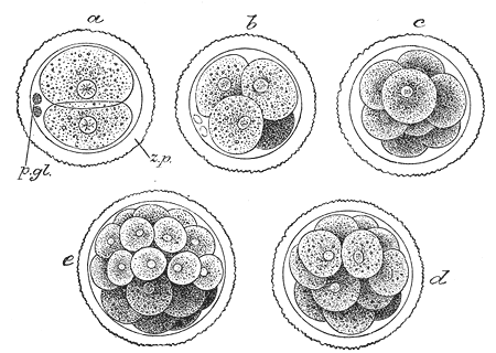 fertilization-to-blastula