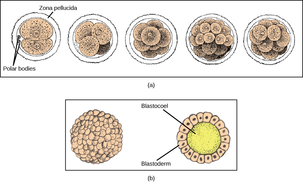 zona-pellucida-blastula-formation