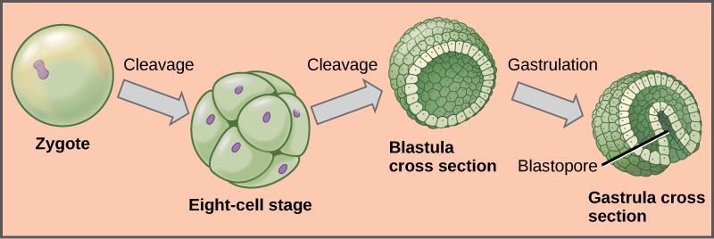 zygote-blastula-gastrula